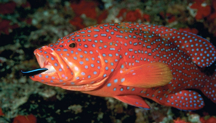 Coral Trout - fish are friends not food