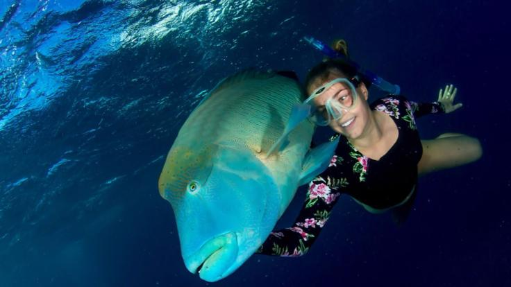 Meet Wally the famous and puppy like Maori Wrasse fish on the Great Barrier Reef