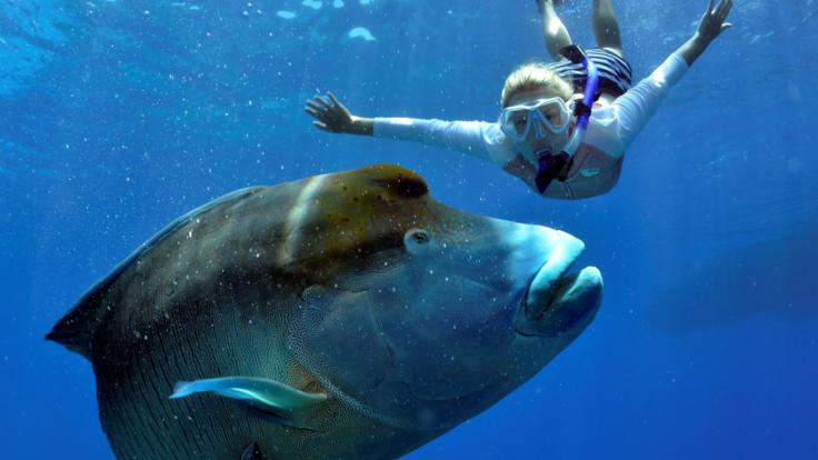 Wally the famous Maori Wrasse is always ready to play on the Great Barrier Reef