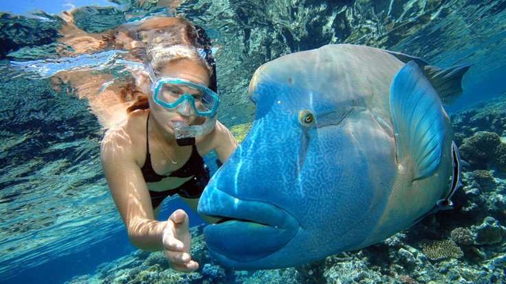 Reef Trip Cairns: Snorkeller - Wally - giant Maori Wrasse in Cairns - Great Barrier Reef Australia