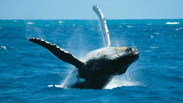 Whale watching tours Cairns - Humpback whale breaching