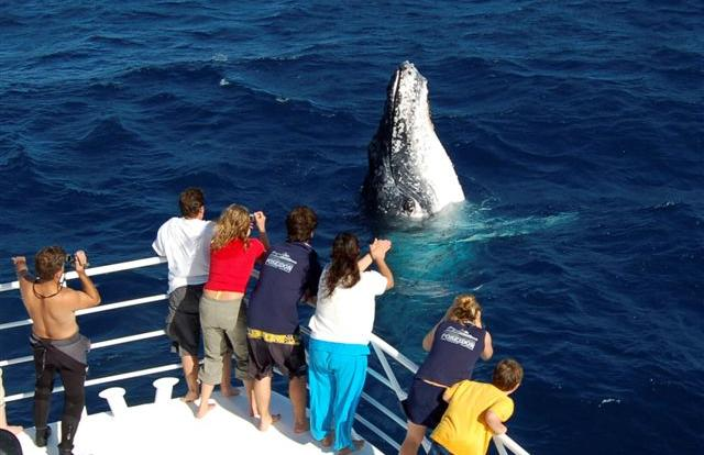 Whale watching tours Cairns - Humpback whale looking at passengers