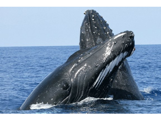 Whale watching tours Cairns with Fitzroy Island tour