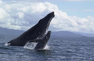 Whale watching tours Cairns - Humpback whale and calf