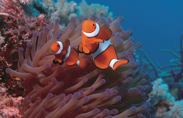 Meet Nemo at Low Isles on the Great Barrier Reef
