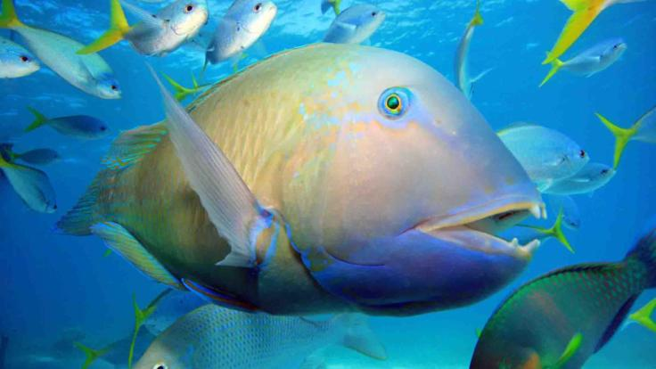 Friendly Parrot Fish of the Great Barrier Reef