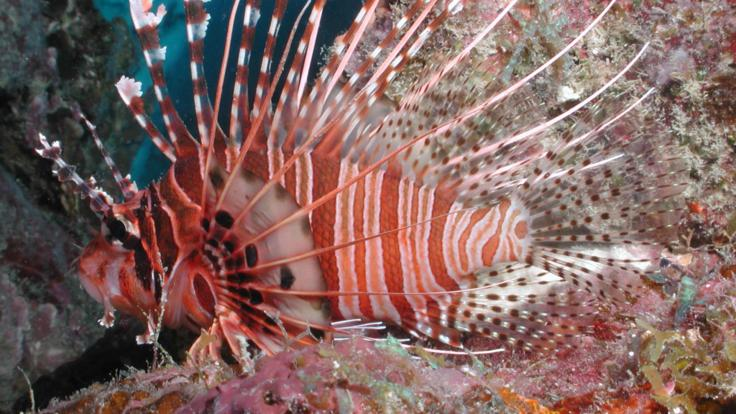 Lion Fish on the Great Barrier Reef