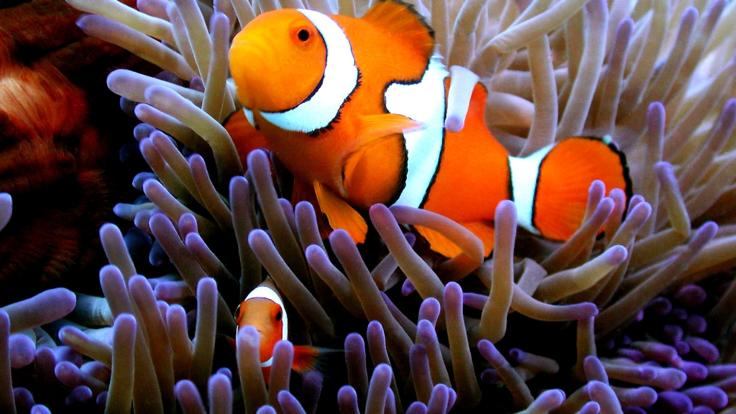 Nemo was made famous in the movie Finding Nemo on the Great Barrier Reef