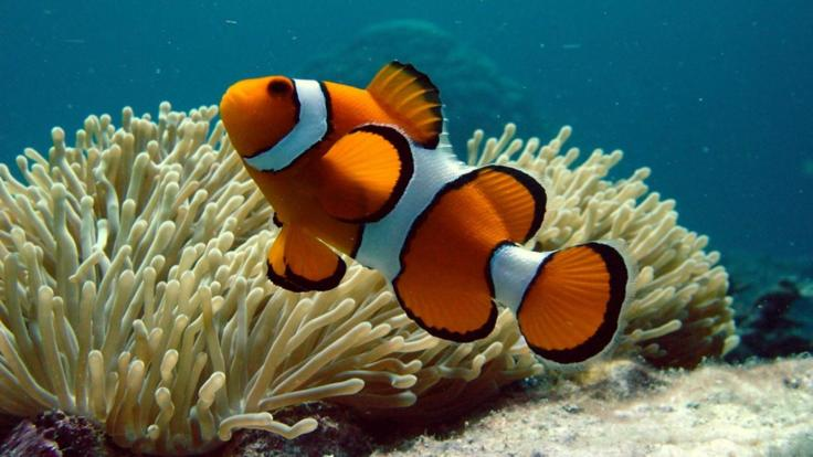 Meet Nemo, the colourful Clownfish on the Great Barrier Reef Australia