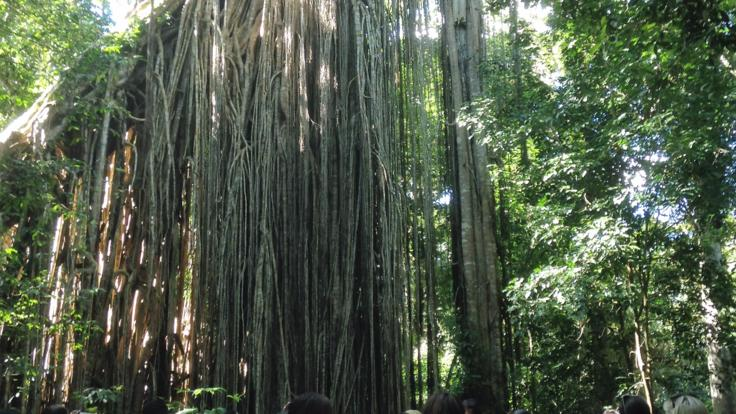 The amazing Curtain Fig tree  - over 500 years old