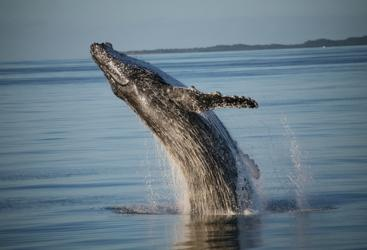 Whale Breach Fraser Island - Hervey Bay Whale Watching Tours