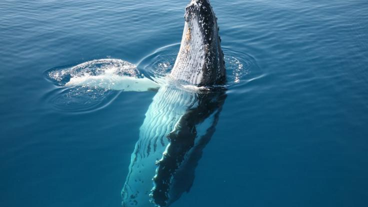 Hervey Bay Whale Watching Tours - Whale spy hopping Fraser Island