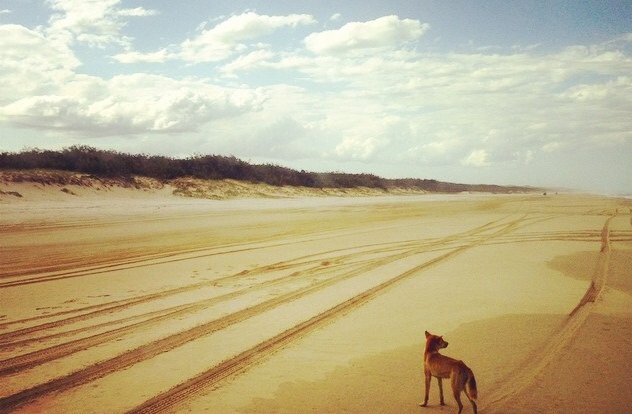 You might be lucky enough  to see a wild dingo on the beach of Fraser Island