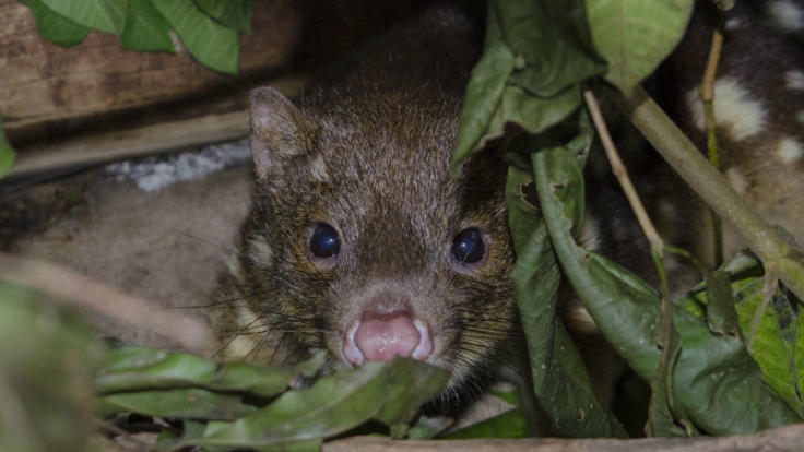 Spotted-Tail Quoll at night in Port Douglas