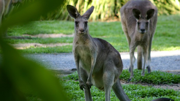 Pet a kangaroo in Kuranda at Rainforestation