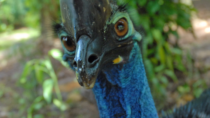 Endangered Cassowaries are a seen frequently on this tour, Daintree Rainforest