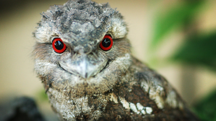 A frogmouth in the Daintree Rainforest