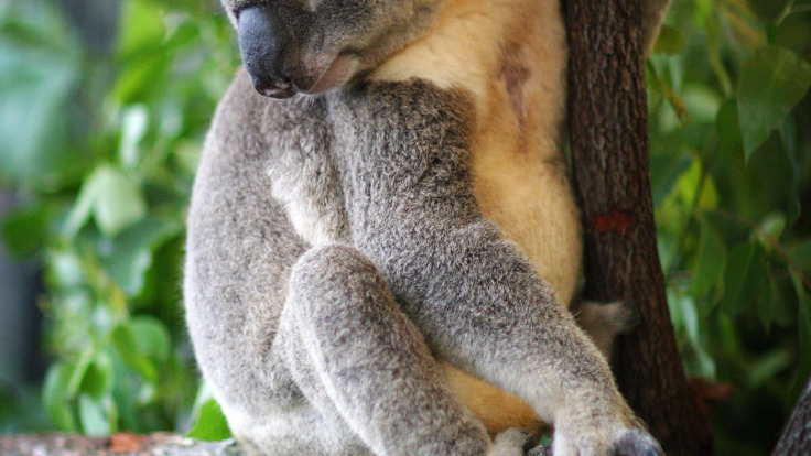 Great chance to see the native Australian wildlife - koala, Port Douglas