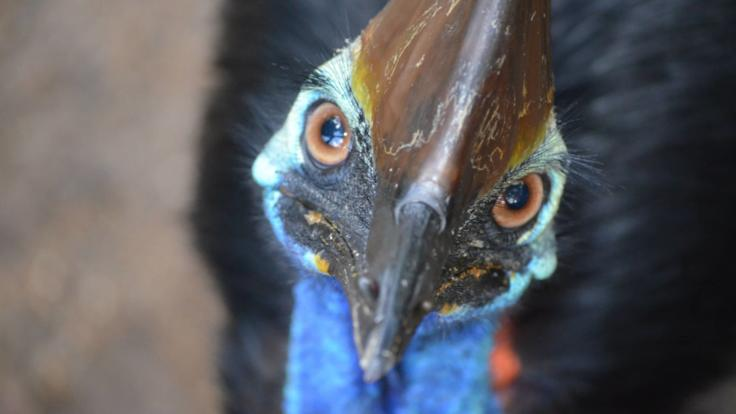 Cassowary at Rainforestation in Kuranda