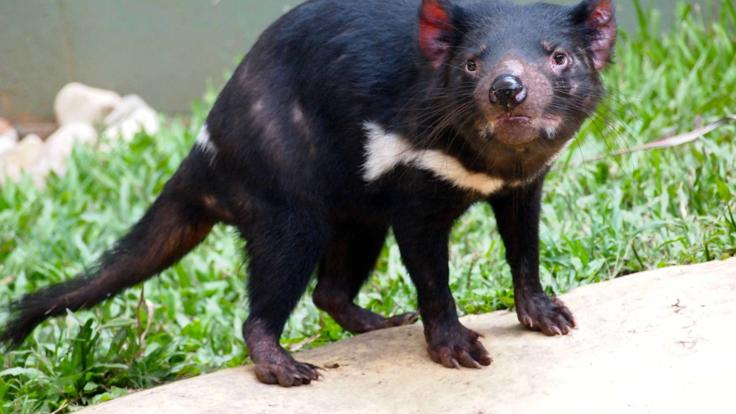 The Almighty Tasmanian Devil | Rainforestation