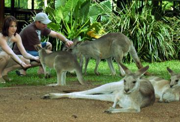 Kurnada Tours - Hand feed Kangaroos & Wallabies in Kuranda