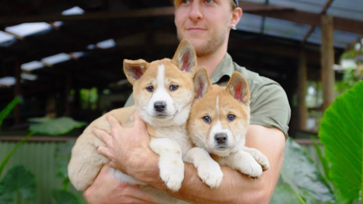 Cute Native Australian Wildlife - Dingo Puppies
