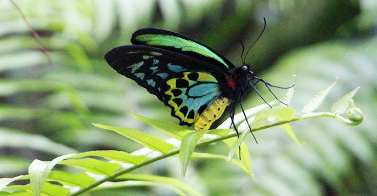 Cairns Birdwing Butterfly at the Butterfly Sanctuary in Kuranda