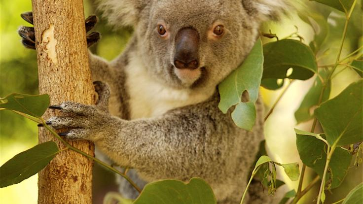 Get your photo with a Koala at Hartley's Crocodile Adventures