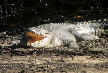 See a crocodile in the wild in the Daintree Rainforest