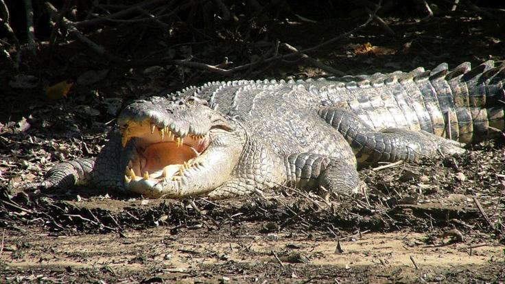 See a crocodile in the wild in the Daintree
