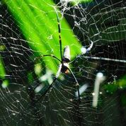A golden orb spider in the Rainforest