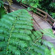 Guided rainforest boardwalks through the Daintree rainforest