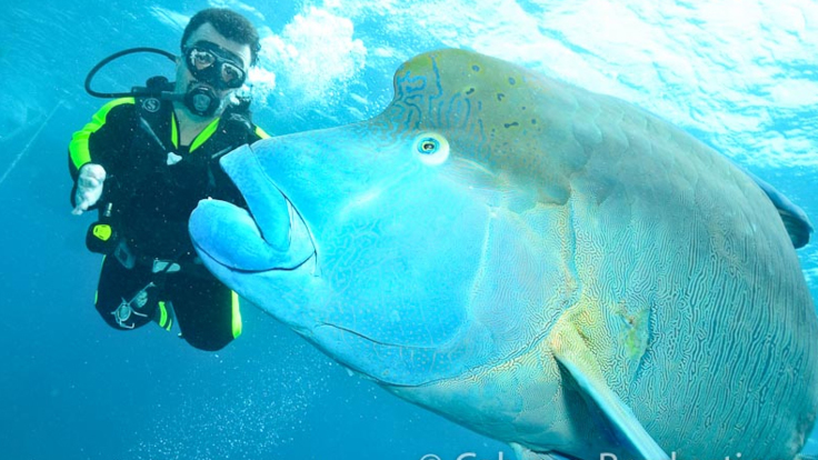 Wally the Maori Wrasse on the Outer Great Barrier Reef with divers in Cairns Australia