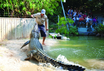 Hartleys Crocodile Park - Hand feeding a giant crocodile