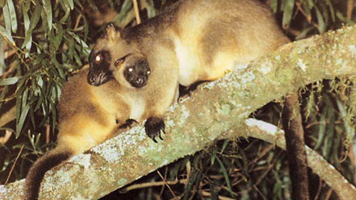 The rare and endangered spotted tree kangaroo on the Atherton Tablelands