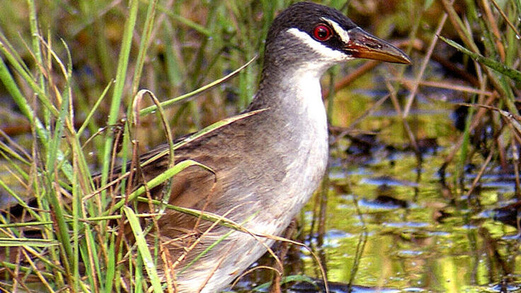 See the White Bowed Crake Spotted wader bird