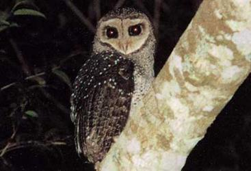 Sooty Owl, spotted on wildlife night tour, Cairns