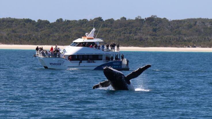 Whale Breaching in front of boat around Hervey Bay