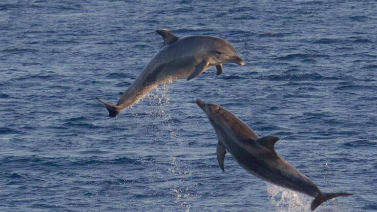 Dolphin Tours Hervey Bay - Dolphins Showing off Whilst Waiting for Whales