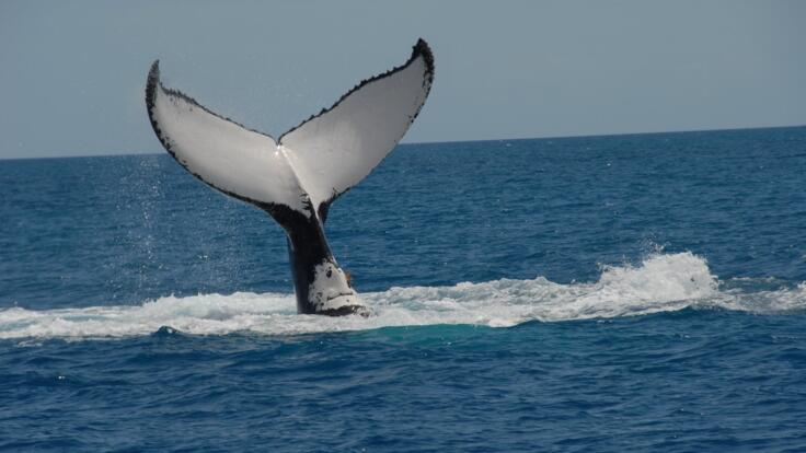 Whales Hervy Bay - Tail Slapping to Let Us know they are Here