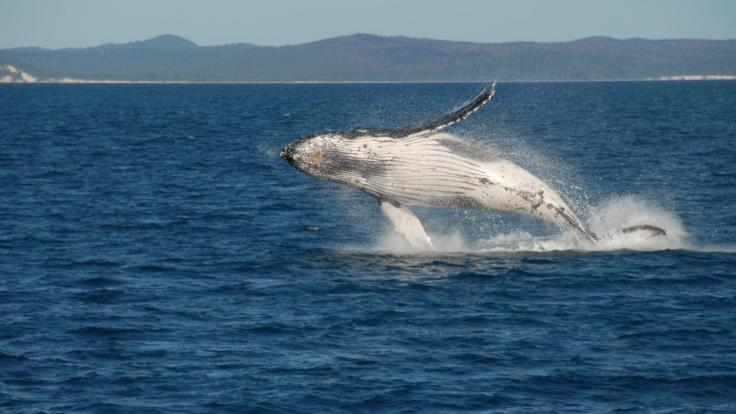 Whale Watching Cruise | Hervey Bay | Humpback Whale Breaching