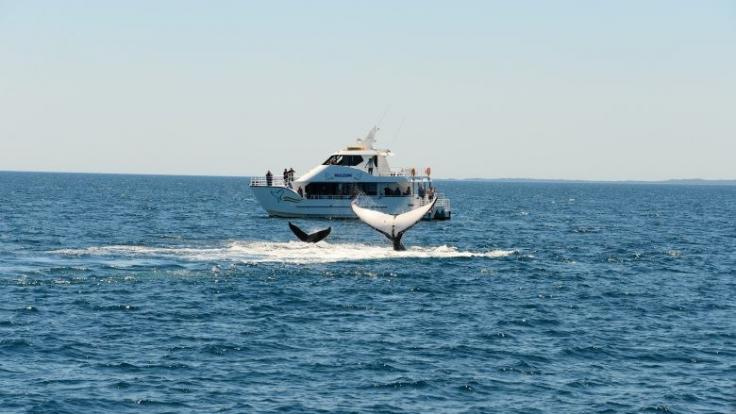 Tail Slapping Humpbacks on Whale Watching Cruise | Hervey Bay