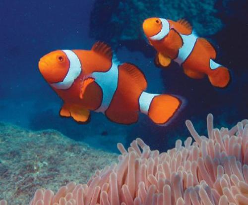 The Great Barrier Reef is famous for these Clown Fish