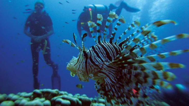 Scuba divers on the Great Barrier reef with a Lion Fish