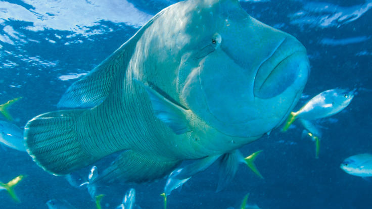 Snorkel and swim with George the Maori Wrasse on the Great Barrier Reef