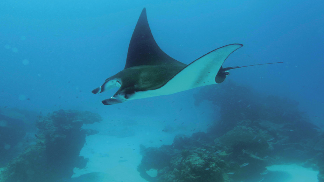 Manta Ray, Lady Elliot Island