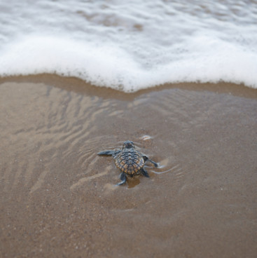 Turtle hatchling heads for the water, Mon Repos