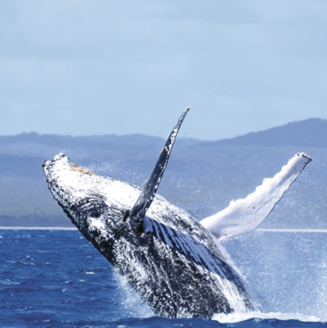 Breaching whale, Hervey Bay