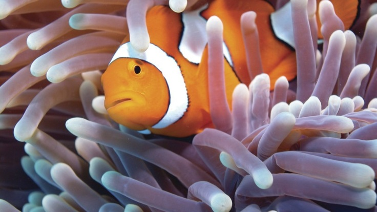 Clownfish, Great Barrier Reef Cairns Queensland Australia