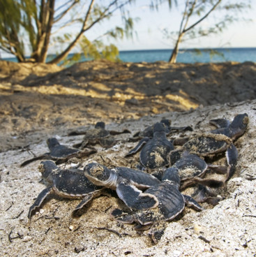 Green turtle hatchlings on the beach, Heron Island